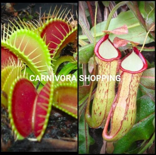 Kit Plantas carnivoras 1 Dionaea muscipula + 1 Nepenthes Sp Spotted
