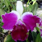 Cattleya Blc. Red Empress of Mercury X Lc. Shelie Compton Touch of Class -Tamanho 06 - Adulta