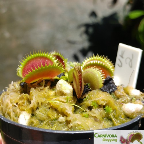 Dionaea muscipula Sawtooth UK 2