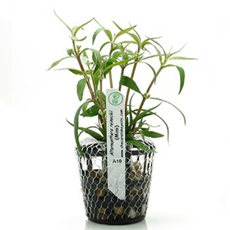 TAKEYOSHI ALTERNANTHERA REINECKII ( MINI ) PLANTA NATURAL VASO / MUDA ( TKA10 )  - UN